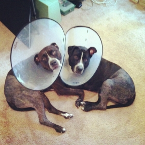 Recovering puppies. They even rock the cone of shame with complete and utter cuteness!